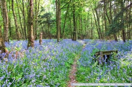 charlotte-gale-blue-bells-pateley-bridge.jpg