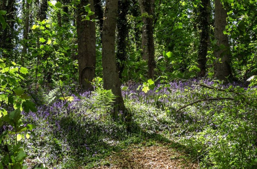 Bluebell Wood BY Izzy.jpg