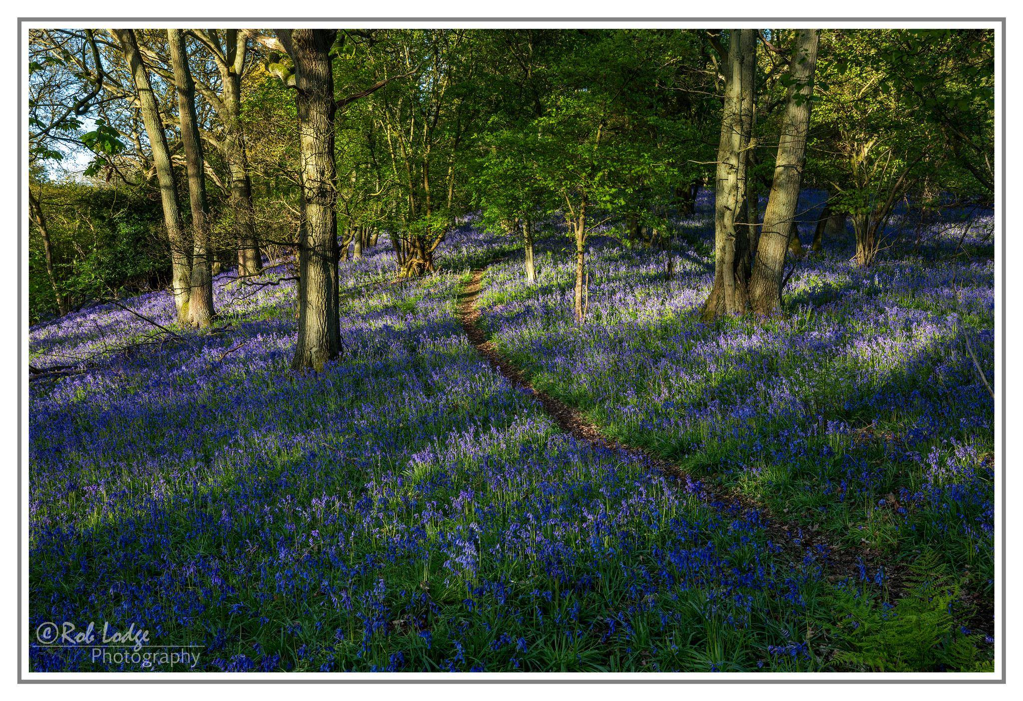 Bluebell wood Shropshire by Rob Lodge  used with permisison.jpg