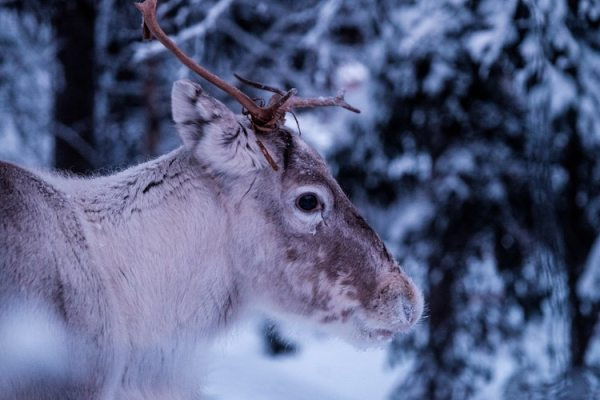 Reindeer Nathan lemon unsplash