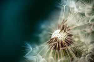 bloom blossom close up dandelion